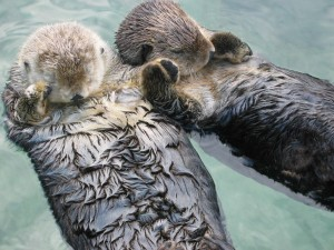 Otters holding hands by mindluge via Flickr